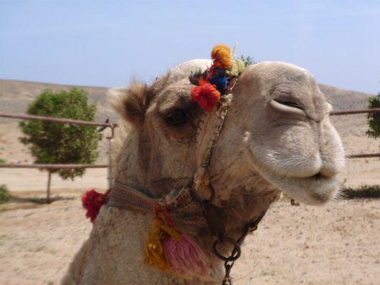 Vorsicht Kamel!