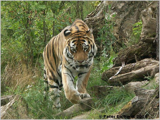 Vorsicht - Tiger im Anmarsch