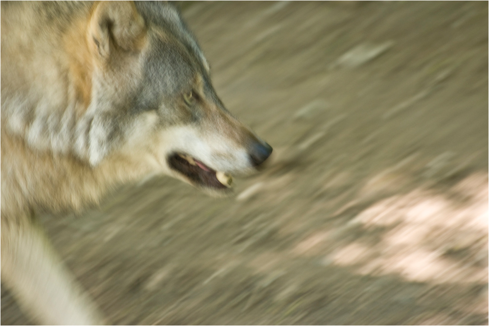 Vorsicht Wolf!