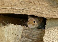 Vorsichtig schaute Mausi heute aus dem Stapelholz....