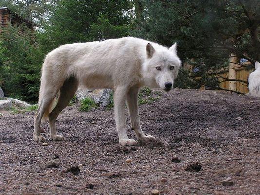 Vorsichtiger Wolf!