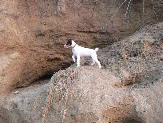 Vorstehhund