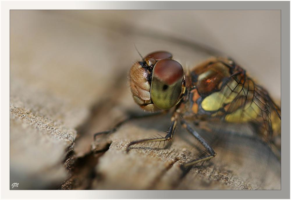 Vorstellung einer Libelle