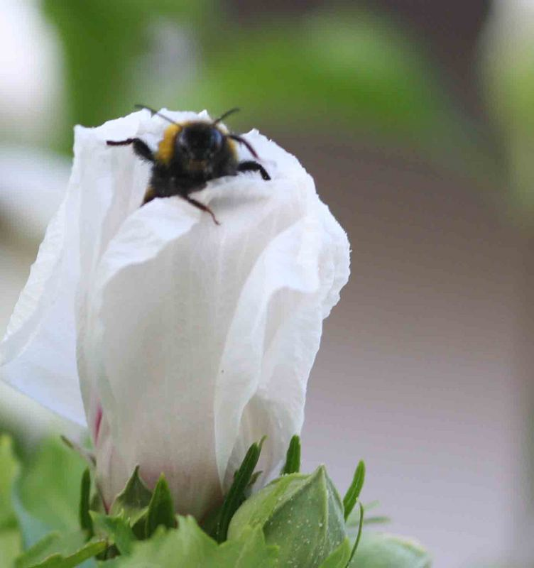 vorwitzige Biene