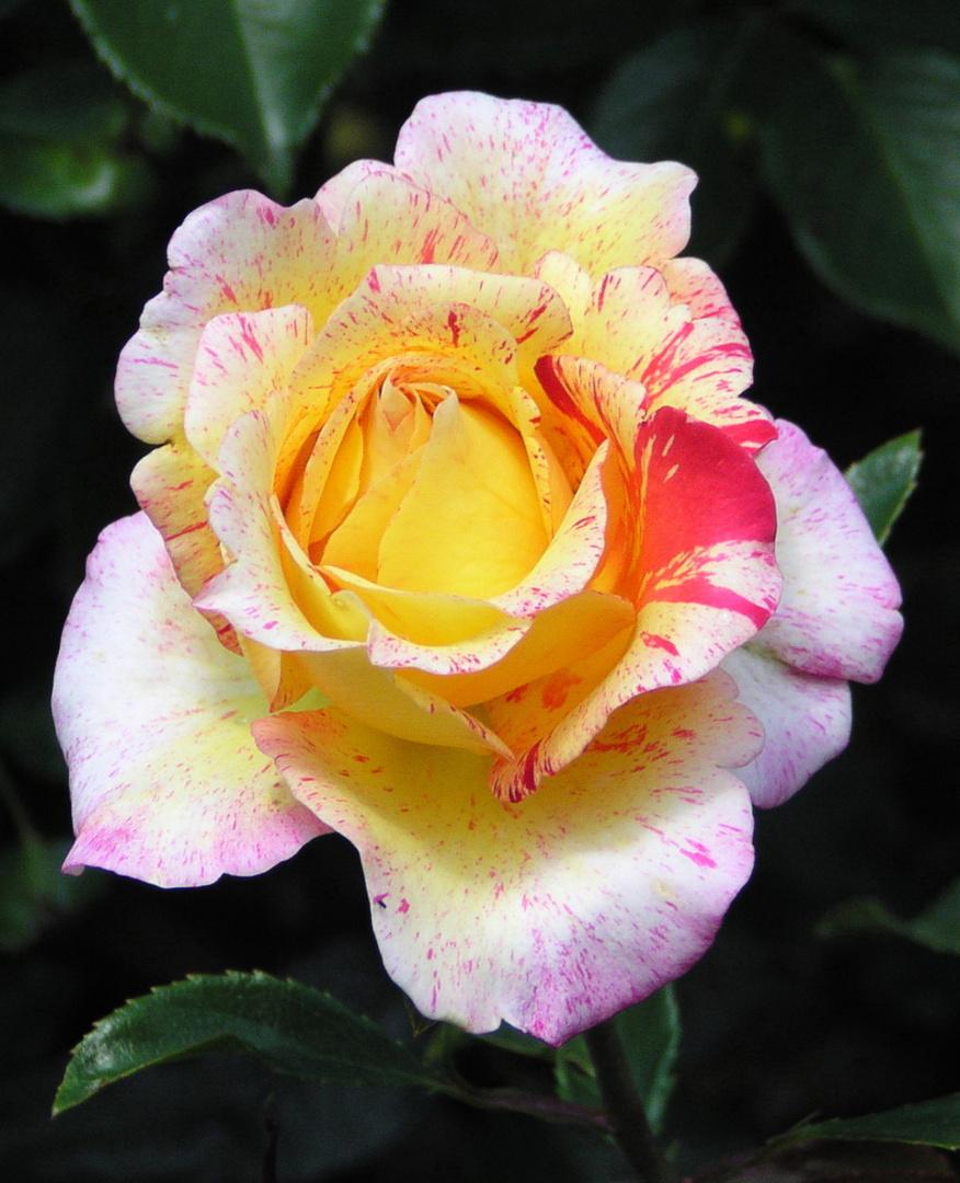 Vrenis Rose