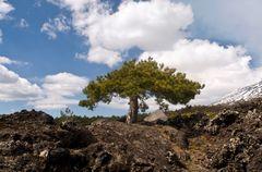 VULKAN ÄTNA - Märchenbaum - Südhang