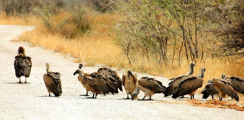 Vultures parade - Etosha National Park