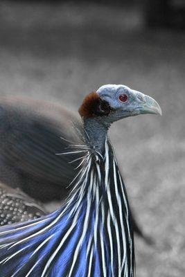 vulturinum