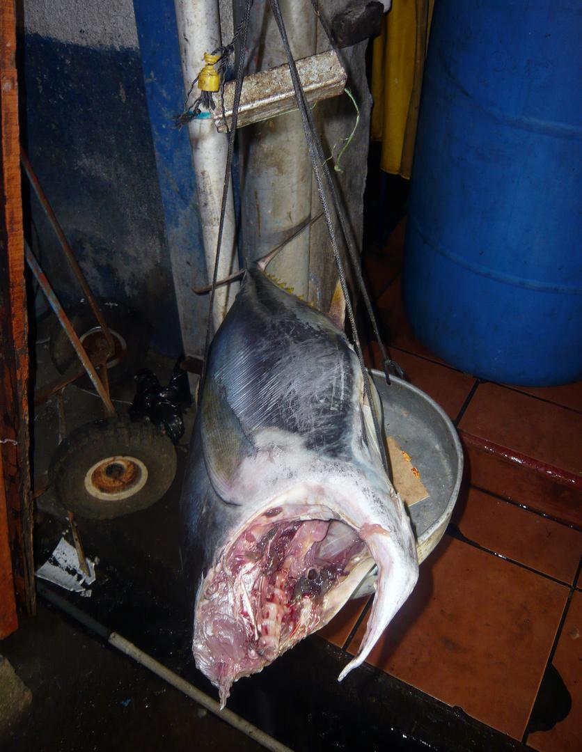 Waage zum Direkt-Verkauf von Thunfisch, Quepos, CR