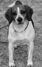 (Wach) Beagle