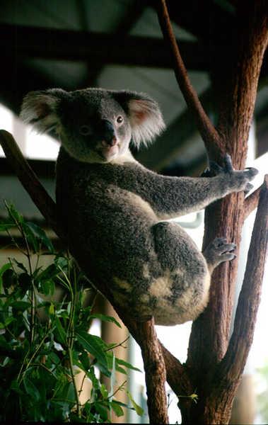 Wacher Koala