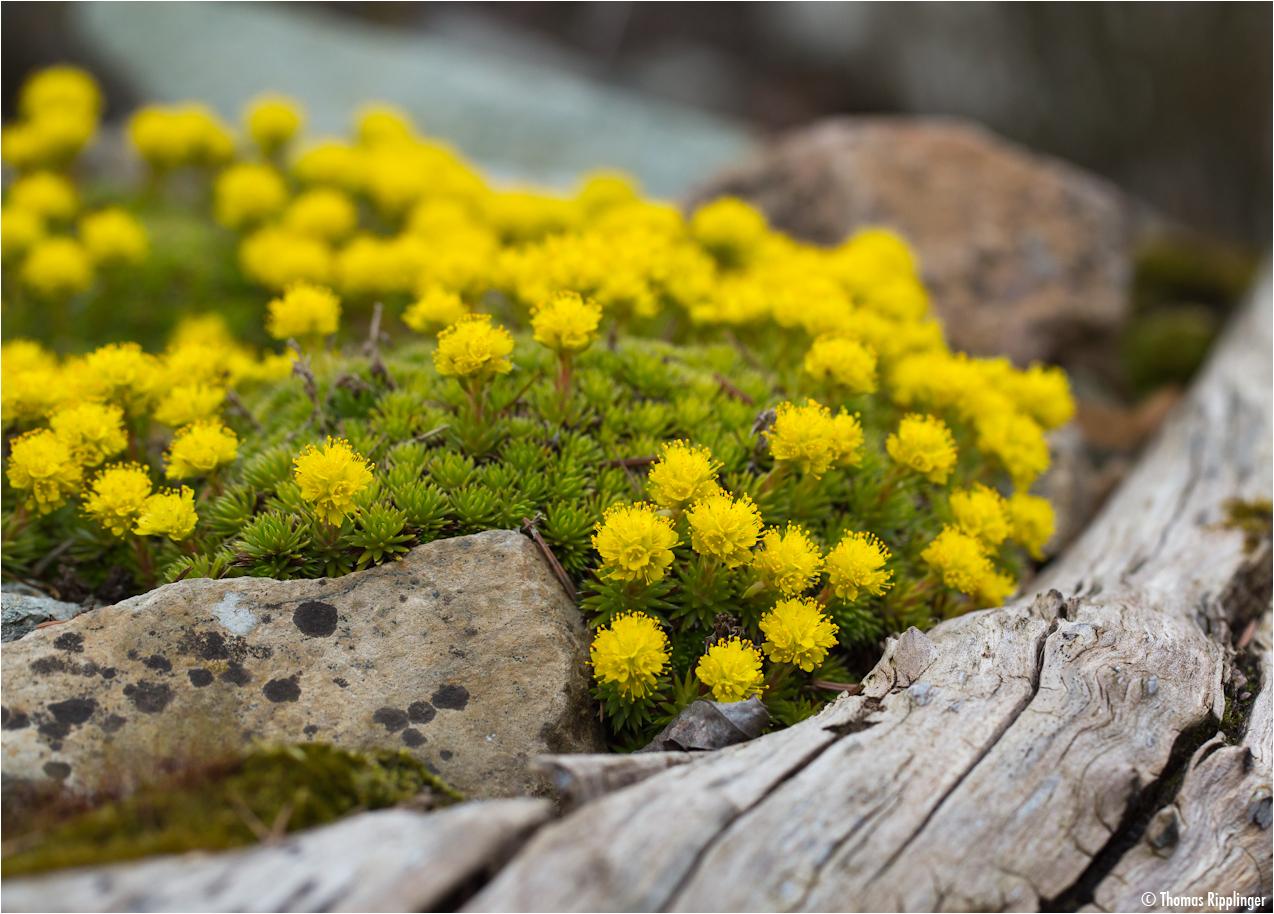 Wacholder Blättriger Steinbrech (Saxifraga juniperifolia).