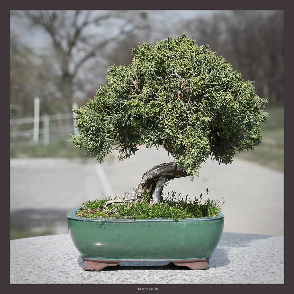wacholder bonsai foto bild natur bonsai b ume bilder auf fotocommunity. Black Bedroom Furniture Sets. Home Design Ideas