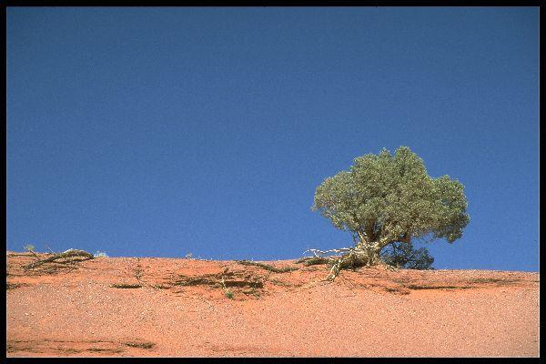 Wacholder im Monument Valley, Arizona/Utah, USA