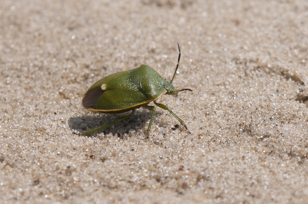 Wacholderling (Chlorochroa juniperina)