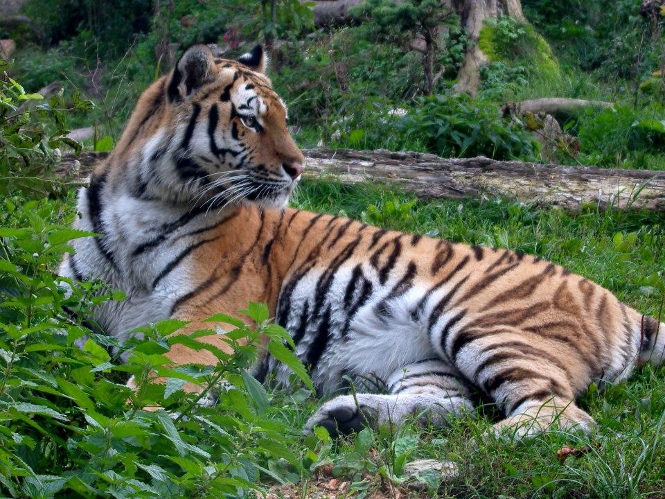 Wachsamer Tiger