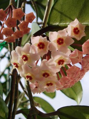 Wachsblume bzw. Porzellanblume