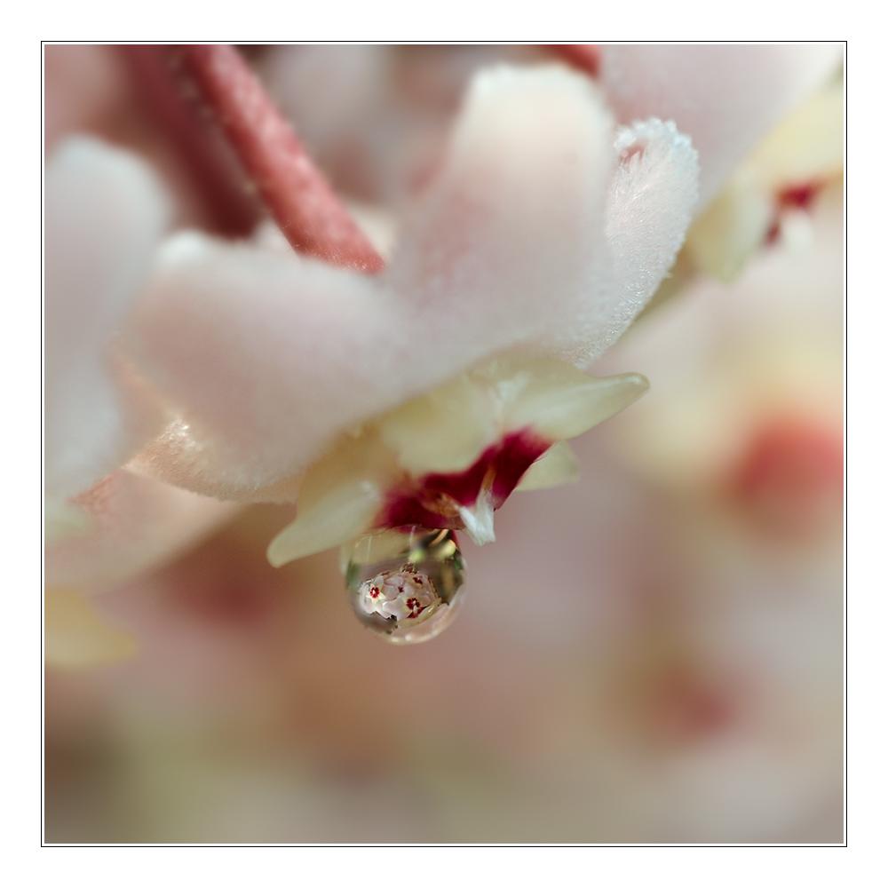 Wachsblume in Wachsblume