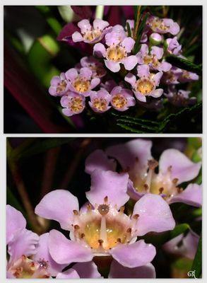 Wachsblumen