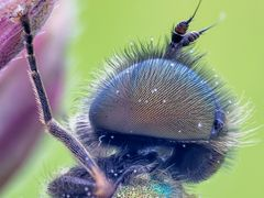 Waffenfliege (Chloromyia formosa) -2-