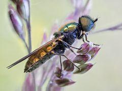 Waffenfliege (Chloromyia formosa)