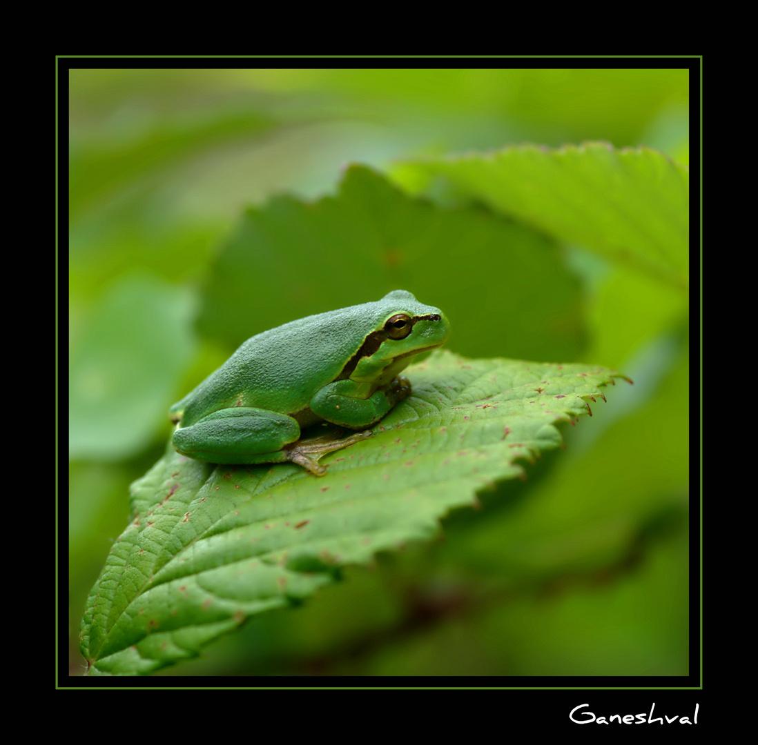 """Waka-Waka"" , le chant de la rainette verte ;-)"