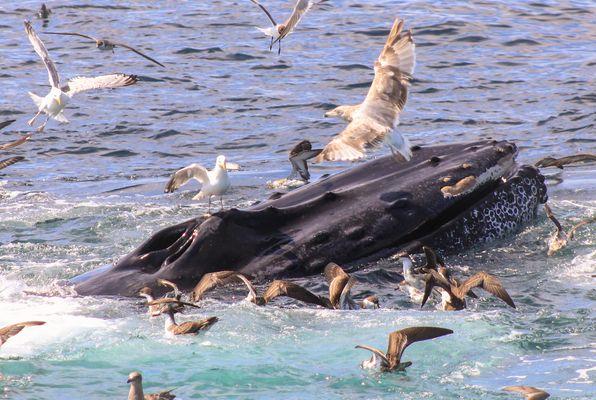 Wal an der Wasseroberfläche