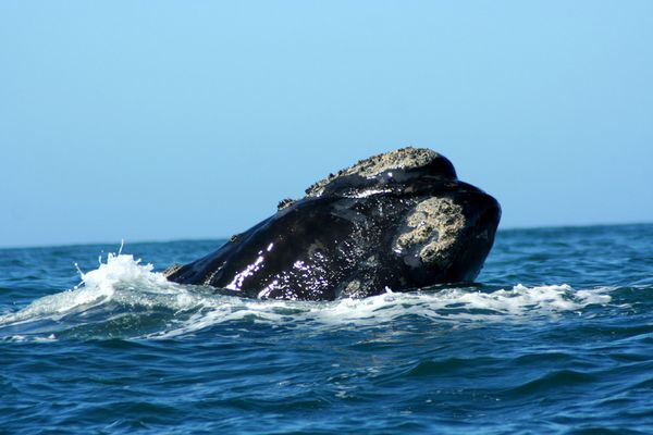 Wal in Hermanus (Südafrika)
