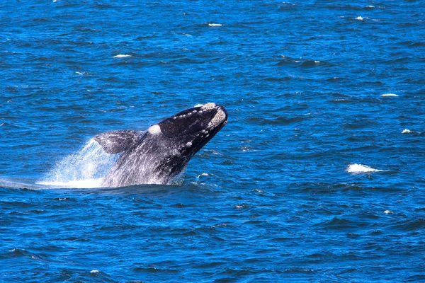 Wal in Südafrika