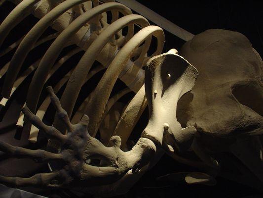 Wal-Skelett