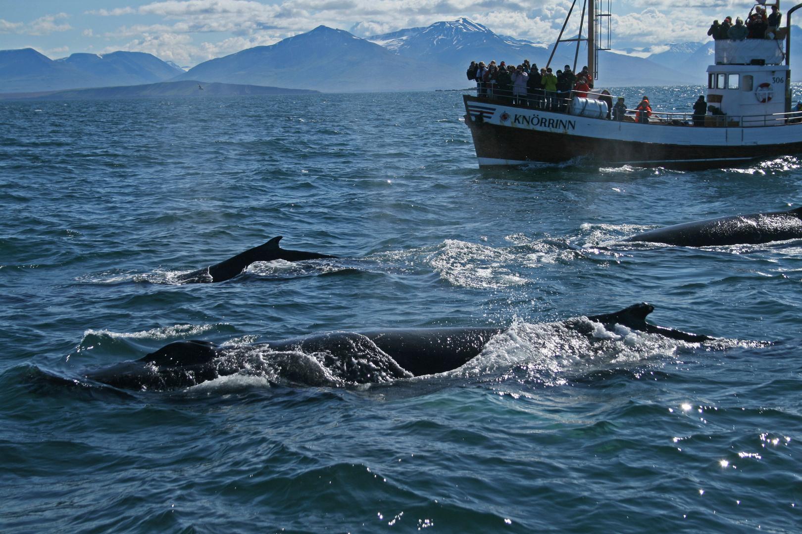 Walbeobachtung vor Dalvik