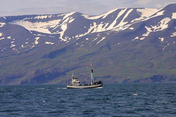 Walbeobachtungsboot vor Island