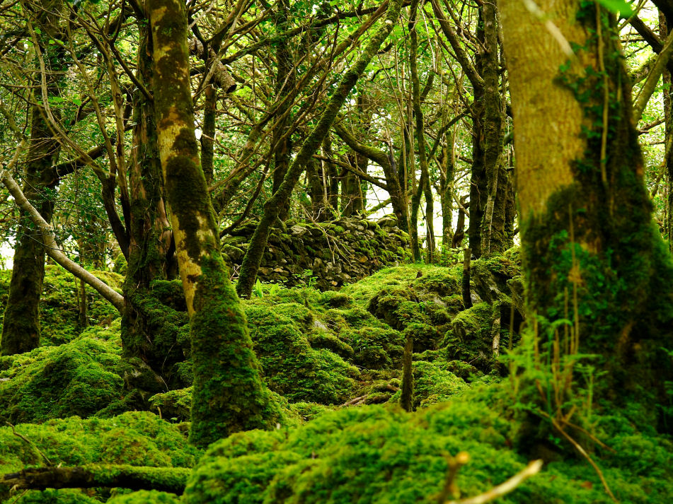 Wald 3 / Irland - Killarney Nationalpark