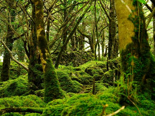 Wald 3 / Irland - Killarney Nationalpark