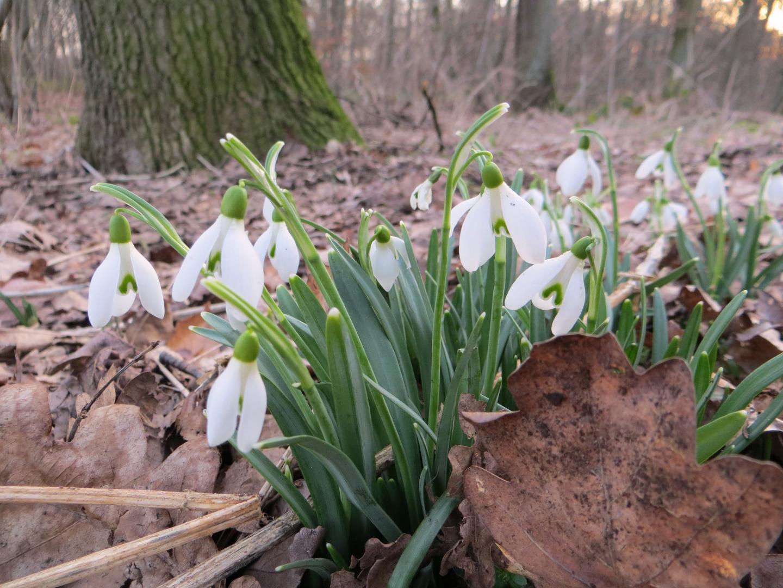 Wald-Frühlingsboten