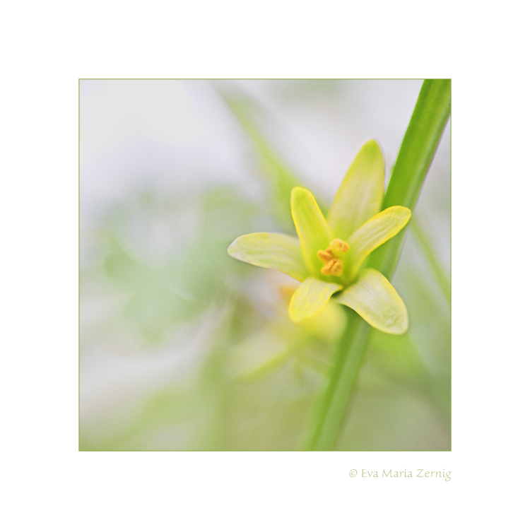 Wald-Gelbstern (Gagea lutea)