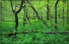 Wald im Killarney National Park