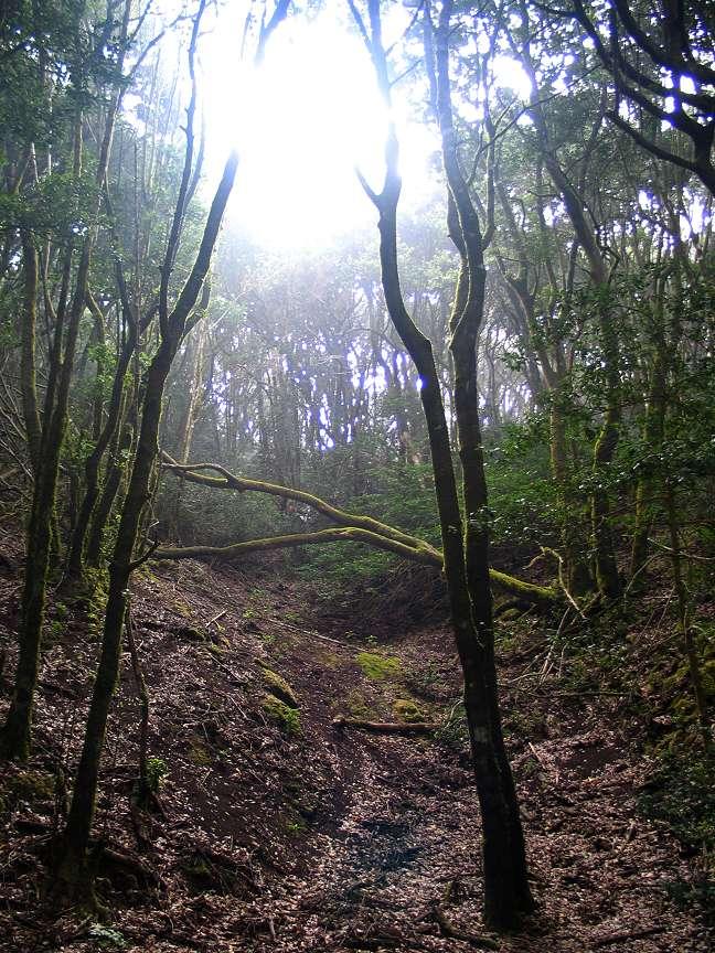 Wald im Norden Teneriffas