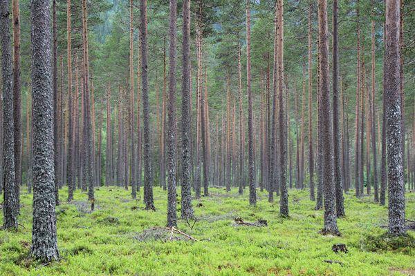 Wald in Norwegen