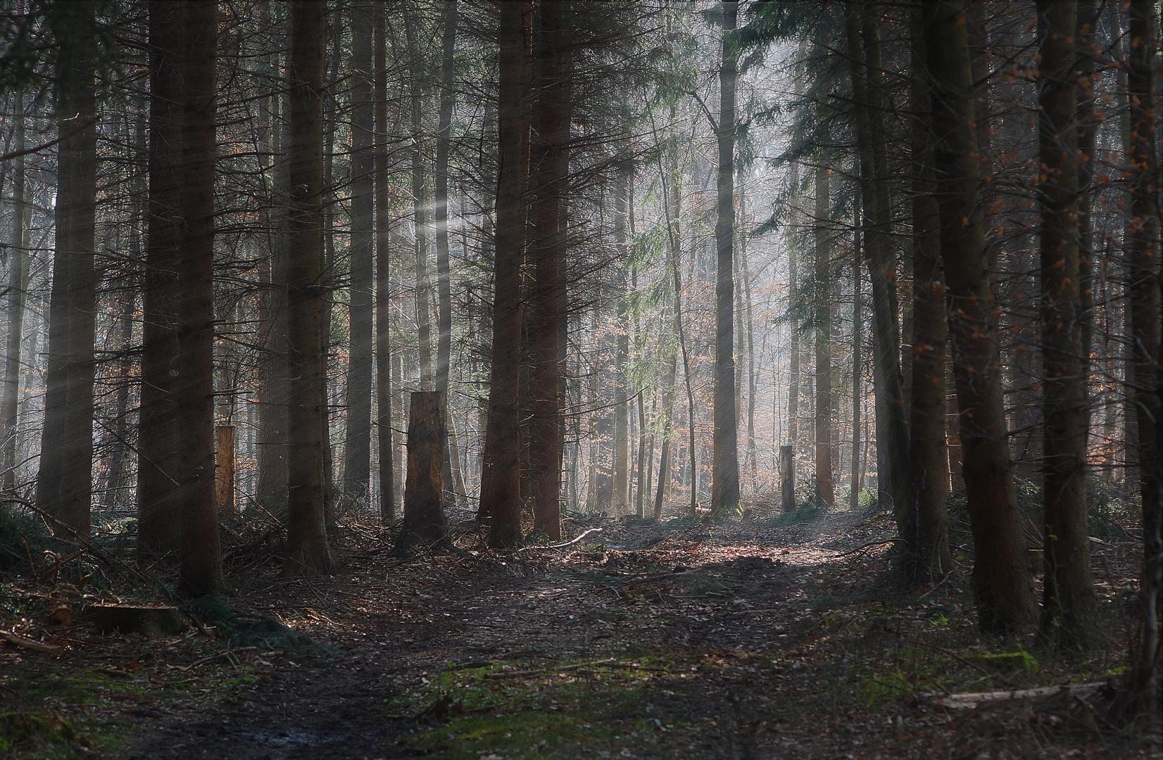 Wald mit den ersten Sonnenstrahlen
