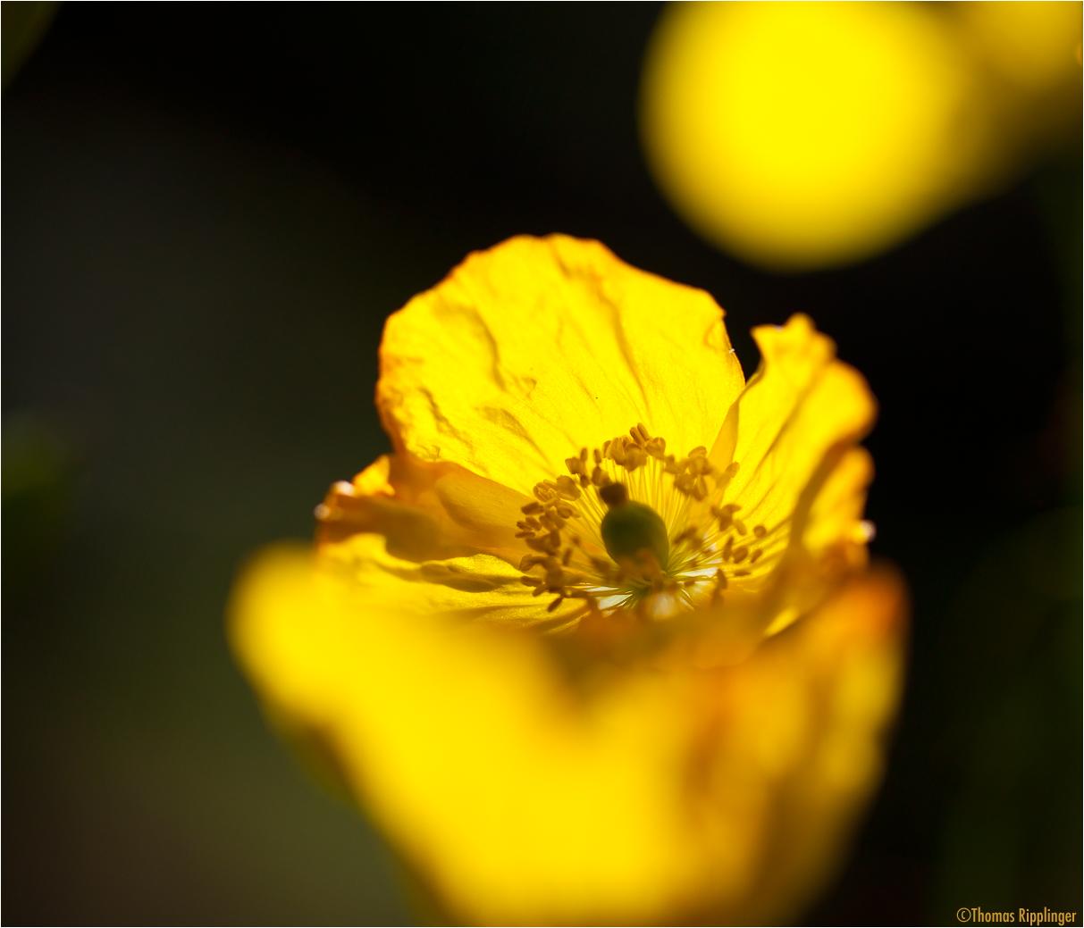 Wald-Scheinmohn (Meconopsis cambrica).......