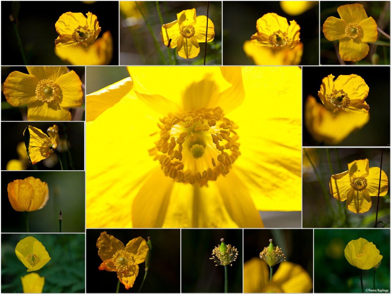 Wald-Scheinmohn (Meconopsis cambrica) Collage