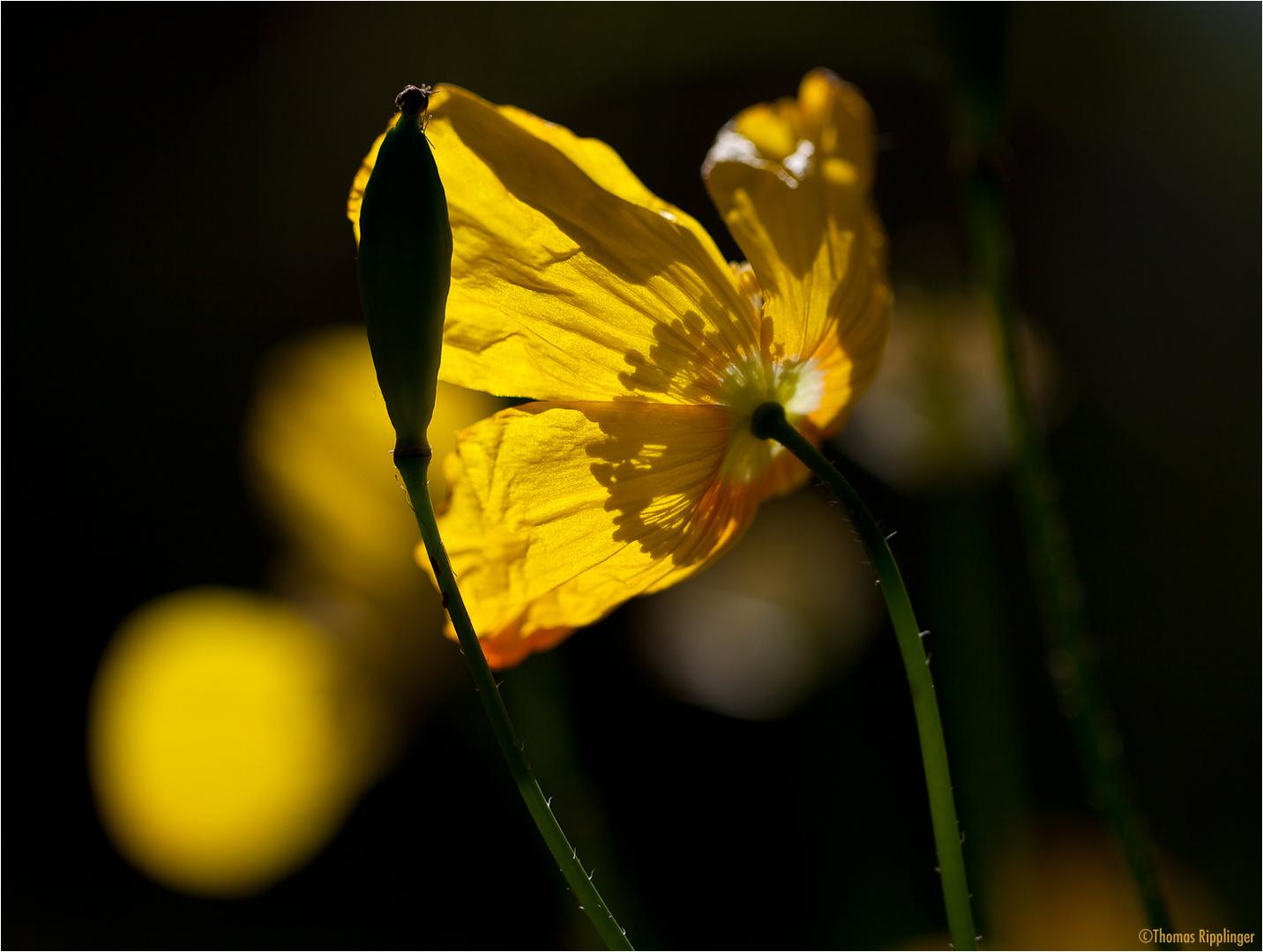 Wald-Scheinmohn (Meconopsis cambrica).....