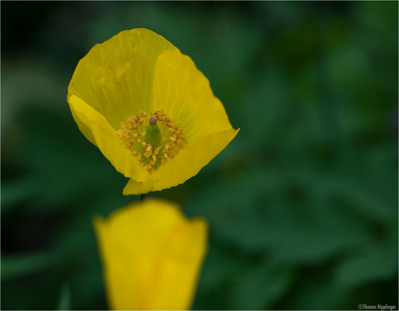 Wald - Scheinmohn (Meconopsis cambrica) oder Pyrenäen - Scheinmohn