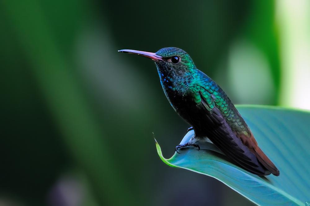 Wald- und Wiesen-Kolibri