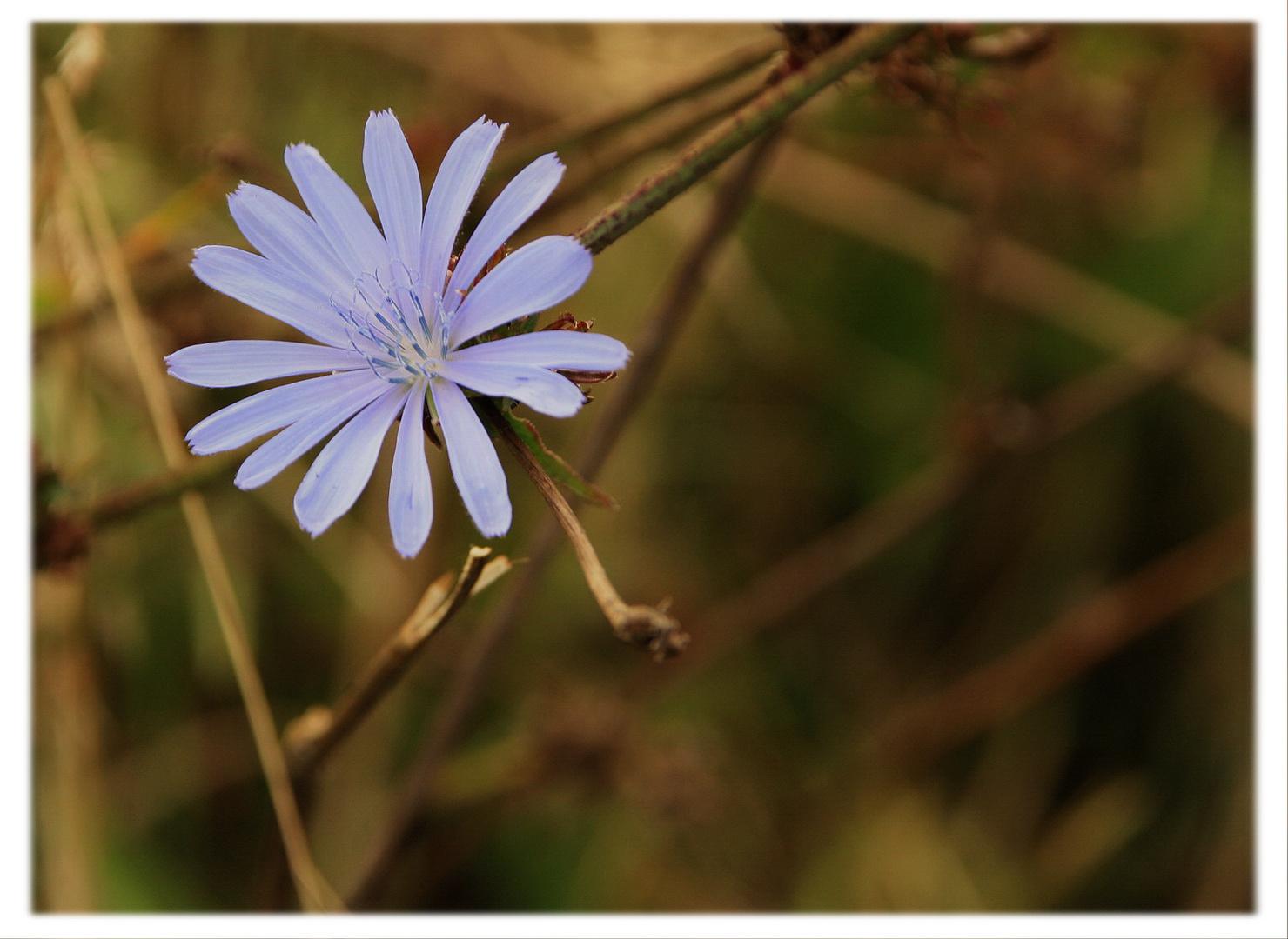 Wald- und Wiesenblume am Weinberg