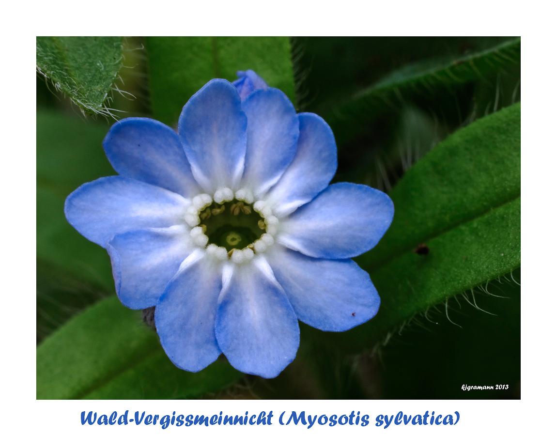Wald-Vergissmeinnicht (Myosotis sylvatica)....