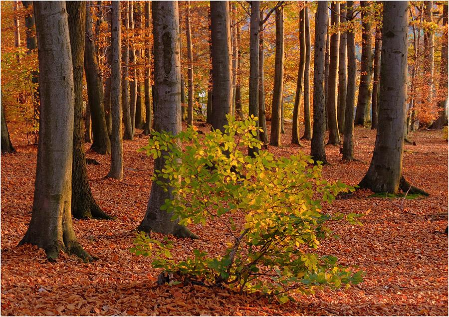 Waldabendlicht