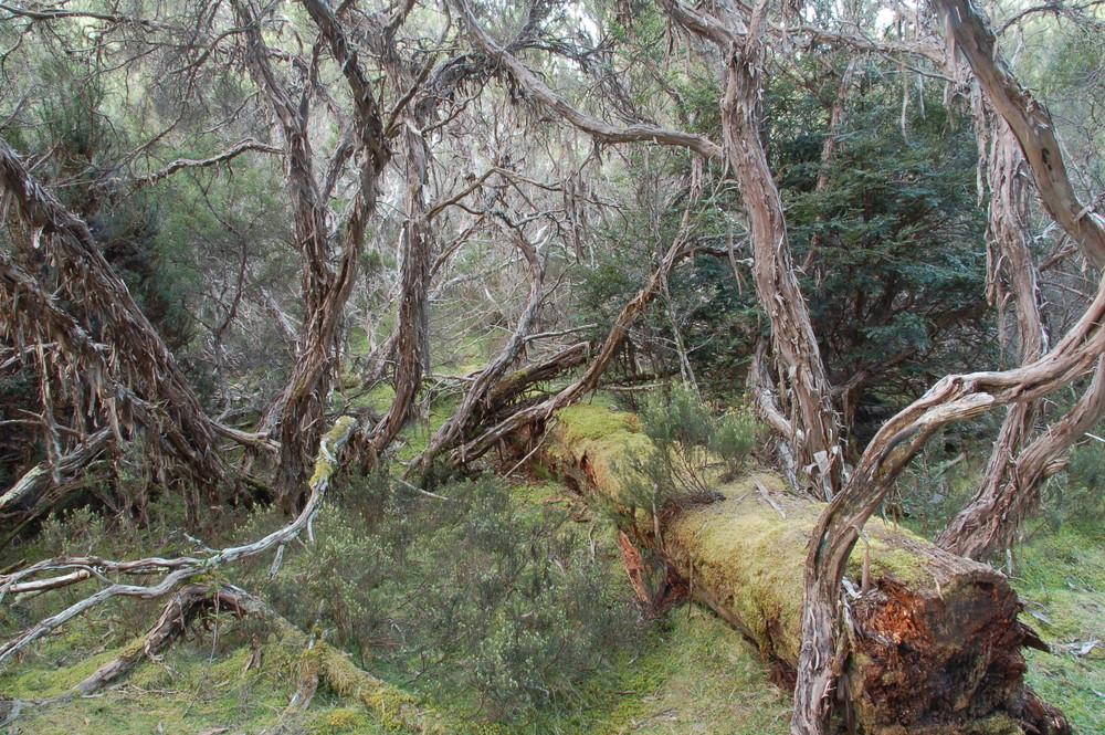 Waldabschnitt in Tasmanien