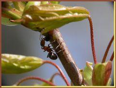Waldameise auf Ahornbaum